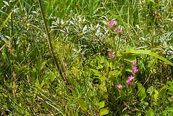 Fraai duizendguldenkruid, Centaurium pulchellum