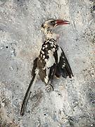 Hornbill. Young Hadza men hunting birds. At the Hadza camp of Dedauko.