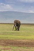 A large bull elephant walks across a short grass plain in east Africa