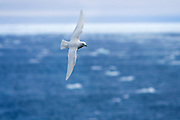 The snow petrel is one of only three birds that breed exclusively in Antarctica and has been seen at the South Pole. It has the most southernly breeding distribution of any bird. ..