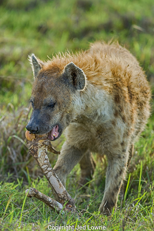 Hyena's are one of the most successful hunters in the Serengeti. They are opportunistic, but to characterize them as purely scavengers is unfair. They do enjoy a good hip bone now and then though.
