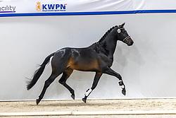 562, No Limit<br /> KWPN Hengstenkeuring 2021<br /> © Hippo Foto - Dirk Caremans<br />  05/02/2021