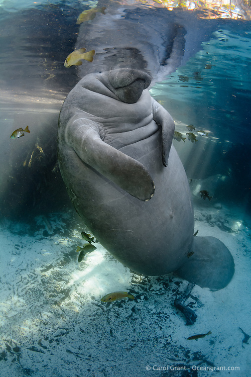 A female manatee peers above and below the surface of the Florida springs. Manatees have poor eyesight but do see colors and watery shapes. She also feels the surroundings with her tactile body hairs and whiskery snout. The demeanor looks completely relaxed as she balances on her tail while leaning back with perfect buoyancy in the freshwater. Sunfish or bream (Lepomis sp.) surround her. Vertical orientation with blue water and light rays. Undisturbed, natural behavior. Florida manatee, Trichechus manatus latirostris, a subspecies of the West Indian manatee, endangered. Three Sisters Springs, Crystal River National Wildlife Refuge, Kings Bay, Crystal River, Citrus County, Florida USA.