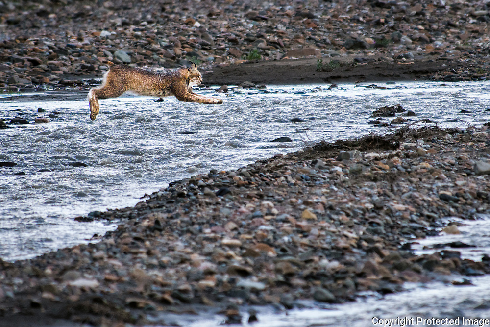 A lynx leaps over one of several braided rivers at Denali National Park near the Teklanika rest area.
