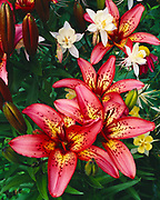 Lilies, Asiatic variety, and Columbine, growing in flower garden by Kris Snider, Anchorage, Alaska.