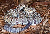 Black Tailed Rattlesnake (Crotalus molossus)