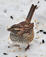 Song Sparrow (Melospiza melodia). Image taken with a Leica CL camera and Sigma 100-400 mm lens.