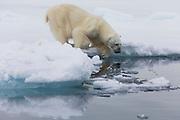 A polar bear (Ursus maritimus) climbing in the water, Spitsbergen, Svalbard, Norway