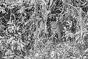 A jaguar (Panthera onca) looking out through dense vegetation along a river in the Pantanal, black and white, Pantanal, Mato Grosso, Brazil