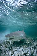 lemon shark, Negaprion brevirostris, swimming across seagrass bed, Bahamas ( Western Atlantic Ocean )