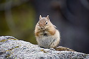 A golden-mantled ground squirrel (Spermophilus lateralis) - often confused for a chipmunk - curiously watches passing hikers on the trail to Mills Lake in Rocky Mountain National Park, Colorado.