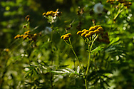 Yellow wildflowers in Spruce Woods Provincial Park, Common Tansy (Tanacetum vulgare) is an invasive species in Manitoba