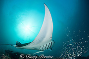 reef manta ray, Manta alfredi (formerly Manta birostris ), entangled in monofilament fishing line which is cutting into the pectoral fin, with remora or sharksucker attached to belly, at cleaning station, at mouth of Hanifaru Bay, Hanifaru Lagoon, Baa Atoll, Maldives ( Indian Ocean )