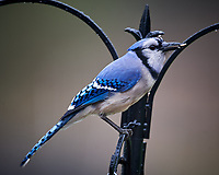 Blue Jay. Image taken with a Nikon D4 camera and 600 mm f/4 VR lens.
