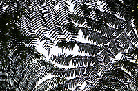 Tree ferns, Cyatheales, in the montane rainforest, Tongbiguan nature reserve, Dehong prefecture, Yunnan province, China