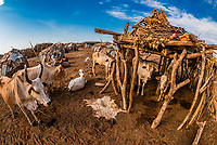 Cattle at Dassanach tribe village, Omo Valley, Ethiopia.