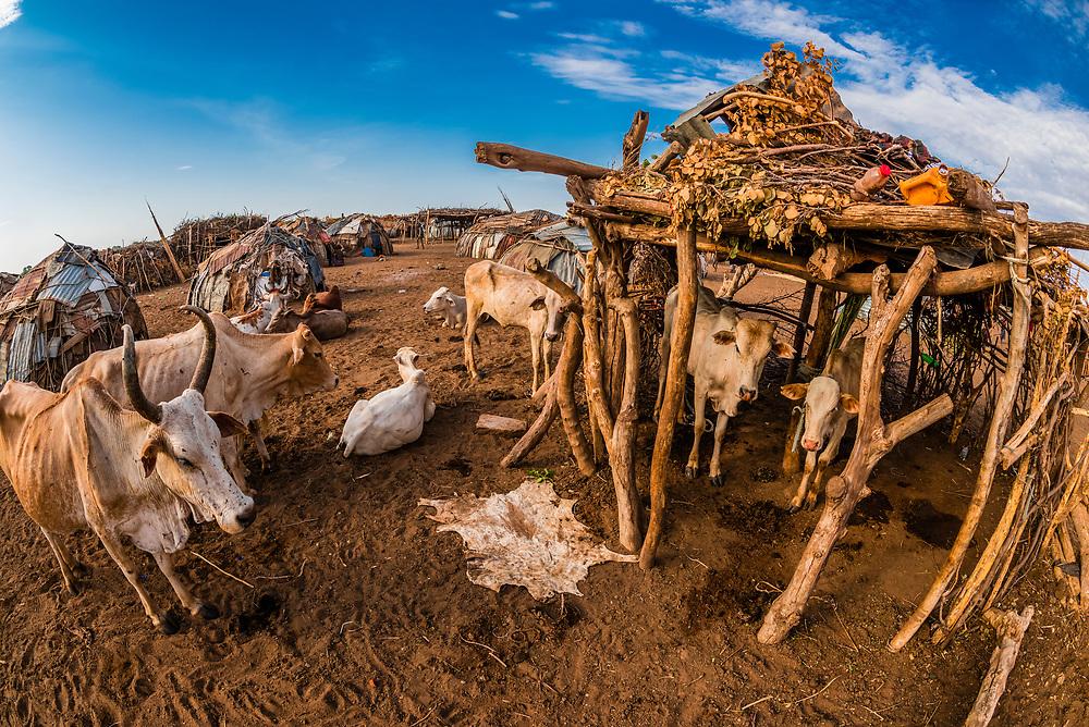 Cattle at Dassanach tribe village, Omo Valley, Ethiopia.