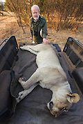 Lioness darted for relocation to Malawi (Panthera leo) & Dr Anthony Hall-Martin<br /> Pilansberg Game Reserve<br /> North West Province<br /> SOUTH AFRICA