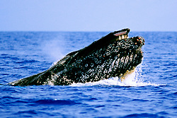 humpback whale in competitive group, Megaptera novaeangliae, lunging, Hawaii, Pacific Ocean