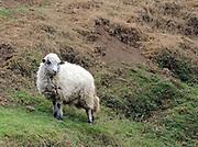 A sheep on a hillside above Santa Clara la Laguna.  Santa Clara la Laguna, Departamente de Sololá, Republic of Guatemala. 07Mar14.