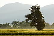 Tree in Field near Ennis