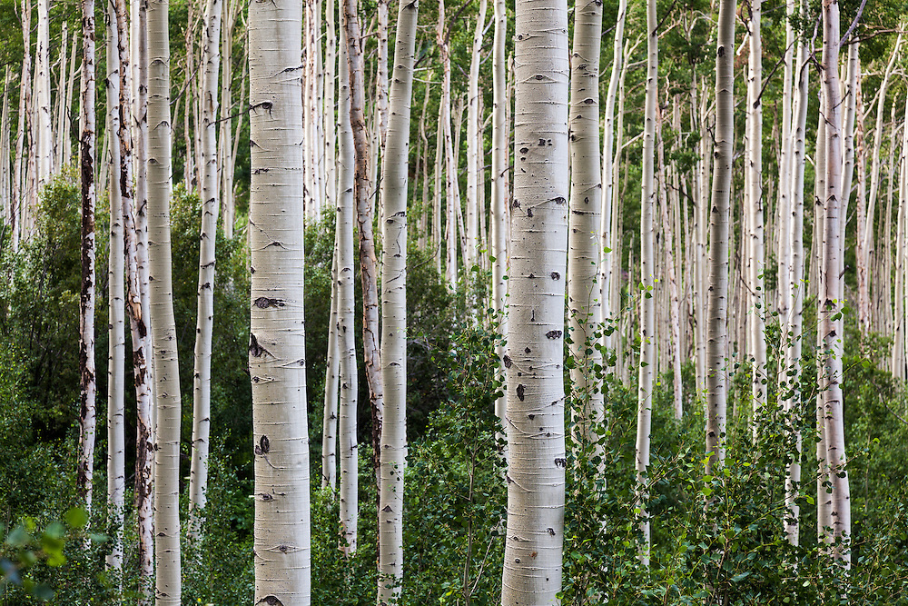 A thick stand of Aspen trees in summer near Aspen, Colorado