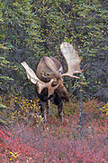 Alaskan bull moose displays his antlers as a challenge.