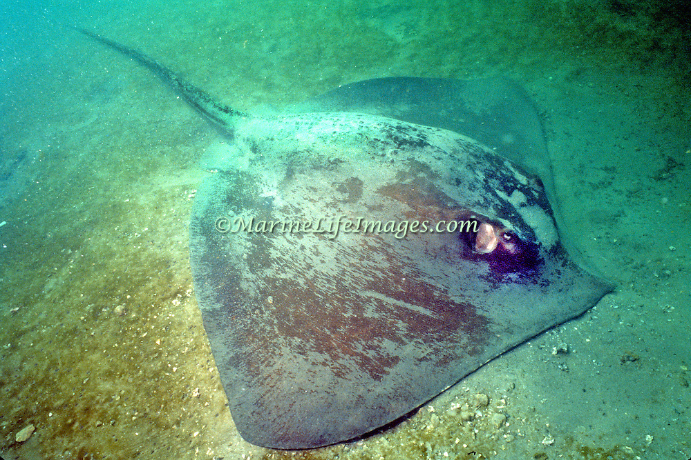 Roughtail Stingray inhabit sandy areas often bury in sand from New England to Florida and Gulf of Mexico; picture taken Ft. Pierce, FL.