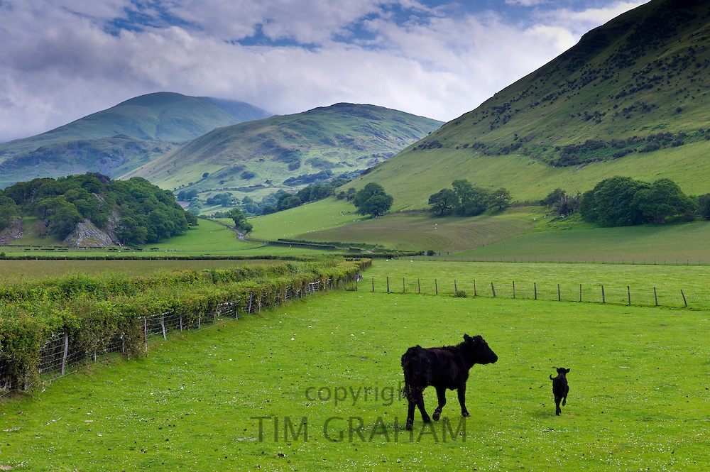 Welsh black cow and calf in valley meadow at Llanfihangel, Snowdonia, Gwynedd, Wales