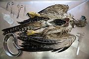 Parauapebas_PA, Brasil...Floresta Nacional de Carajas, Para. Na foto uma Harpia (Harpia harpyja) morta... Carajas National Forest, Para. In this photo a died Harpia (Harpia harpyja)...Foto: JOAO MARCOS ROSA / NITRO