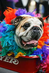 31 January 2016. New Orleans, Louisiana.<br /> Mardi Gras Dog Parade. A bulldog at the Mystic Krewe of Barkus as the parade winds its way around the French Quarter with dogs and their owners dressed up for this year's theme, 'From the Doghouse to the Whitehouse.' <br /> Photo©; Charlie Varley/varleypix.com