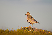 An adult Golden Plover, Pluvialis apricaria, on the moors above Stanage, Peak District