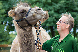 ZSL London, August 26th 2015. Zookeeper Mick Tiley weighs a 750kg Bactrian Camel as ZSL London holds its annual stocktake and weigh-in of  animals.