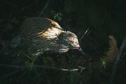 Tokoeka or Southern brown kiwi (Apteryx australis) foraging in forest undergrowth, The Southern Circuit, Stewart Island / Rakiura, New Zealand Ⓒ Davis Ulands   davisulands.com