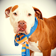 An American Staffordshire terrier/boxer mix heads home. Great dog photo helps.