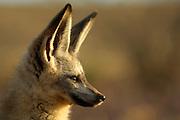 Trotz der enormen Größe seiner Ohren gehört der Löffelhund (Otocyon megalotis) weltweit zu den kleinsten Vertretern der Hundeartigen. Mit einem Körpergewicht von 3 bis 4 kg ist er eher vergleichbar mit einer Hauskatze. Genetisch gesehen ist er allerdings noch erstaunlicher, denn er unterscheidet sich stärker als zu erwarten wäre von seinen Verwandten, den Füchsen und den Wölfen. Die im südlichen Afrika lebenden Löffelhunde werden oft auf Farmland am Rande der Wüste (z.B. der Namib) angetroffen, da durch die Besiedlung und Nutzung dieser Gebiete die großen Raubtiere wie z.B. Löwen, Leoparden und Geparden praktisch völlig verdrängt worden sind.<br /> |bat-eared fox (Otocyon megalotis)