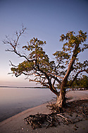 The Black Mangrove plays a key role in the mangrove ecosystem of the Everglades.  The tree is valued for its protection and stabilization of low-lying coastal lands and its importance in estuarine and coastal fishery food chains. <br /> <br /> Black, white, and red mangroves serve as feeding, breeding, and nursery grounds for a great variety of fish, shellfish, birds, and other wildlife.