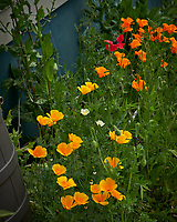 Yellow and Orange California Poppies. Image taken with a Leica CL camera and 60 mm f/2.8 lens (ISO 100, 60 mm, f/4.5, 1/640 sec).