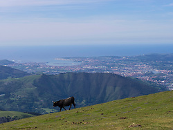 Cow and panoramic view over Bilbao Estuary