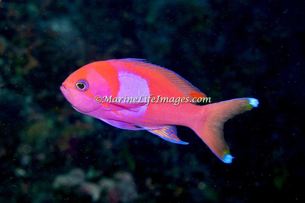 Squarespot Anthias inhabit reefs. Picture taken Palau.