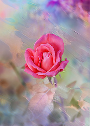"""The meaning of pink roses is as beautiful and as graceful as the delicate blossom. They're often seen in bridal arrangements, thank you or congratulations bouquets. Considering the word """"rose"""" brings to mind the faint blush of a fair maiden's cheeks, it's not surprising these blooms are a favorite to give and receive. <br /> <br /> Pink is not just for girls, and it is not just a pretty color. Pink roses have deep significance when it comes to affections given and received. The most widely accepted interpretation of pink roses is grace and gentility. <br /> <br /> An admiration for beauty, refinement and enduring grace is what the pink rose connotes. The receiver of the pink rose can rest assured that he or she is admired for possessing a certain respectability and decorum not commonly found in others. <br /> <br /> The meaning of pink roses, as expressed by their lovely color is happiness and joy. Being themselves a joy to behold, pink roses express fun and happiness. The pink rose denotes that the receiver is a pleasure to behold, a pleasure to have in company. Thus, it is an indication of deep joy. They indicate happiness or pride, a heart-felt appreciation."""