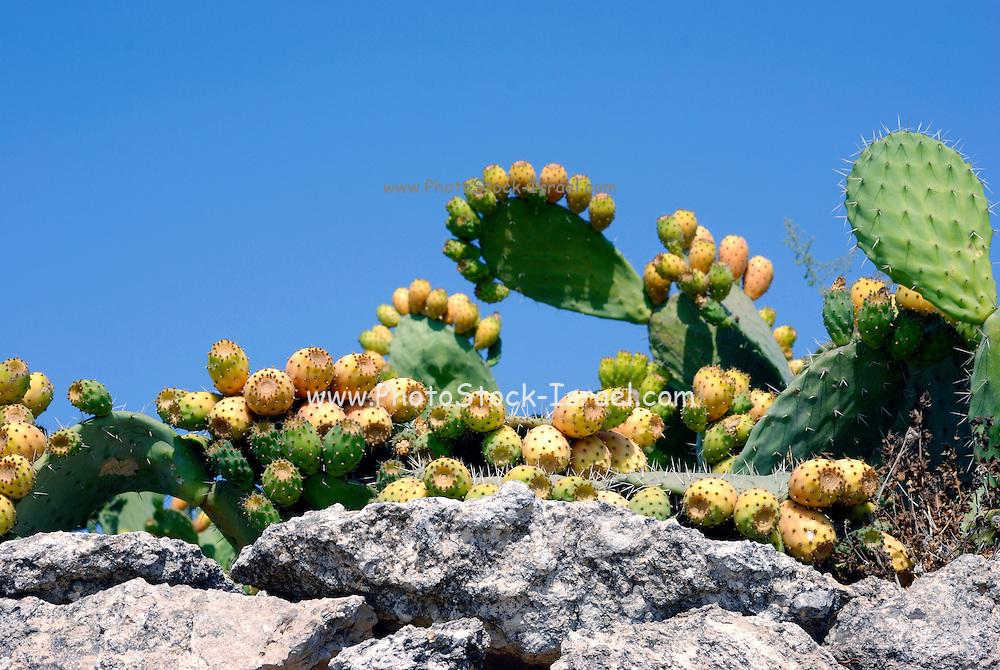 Israel, Southern Coastal Plains, Lachish Region, Ripe fruit of a Tzabar opuntia Cactus.