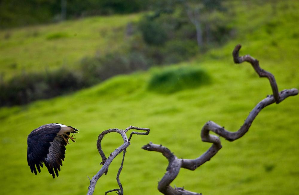 Jeceaba_MG, Brasil...Ave de rapina no galho de uma arvore em Jeceaba, Minas Gerais...Birds of prey on the branch tree in Jeceaba, Minas Gerais...Foto: JOAO MARCOS ROSA / NITRO...