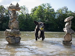 Black dog with tennis ball in mouth standing in Isar river, Bavaria, Germany