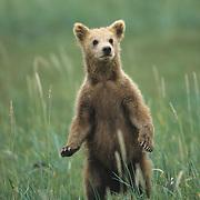 Alaskan Brown Bear cub standing up in the grass. Katmai National Park, Alaska
