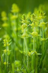 Crosswort. Cruciata laevipes syn. C. ciliata