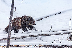 A young grizzly with enjoying spring snow exuberance running across logs in Yellowstone.