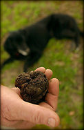 Truffle in the south west of Western Australia near Mandjimup. Manjimup Truffles, Western Australia