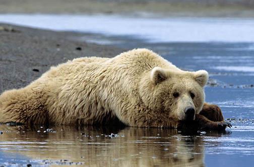 Alaskan Brown Bear, (Ursus middendorffi) Female resting on beach, Katmai National Park. Alaska.