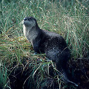 River Otter, (Lutra canadensis) adult on grassy bank of Obsidian Creek. Early fall. Yellowstone National Park.